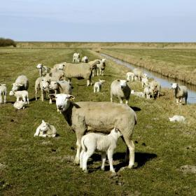 Sheep in the Tønder Marsh